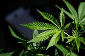 pot-leaf-strain